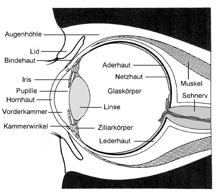 schematischer Aufbau des Auges
